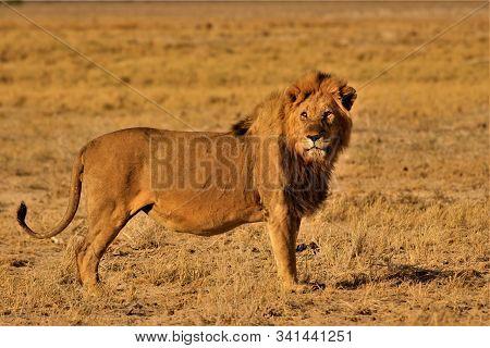 Male Lion Standing Alone In Namibian Savannah Bushland. Etosha Nationalpark, Namibia