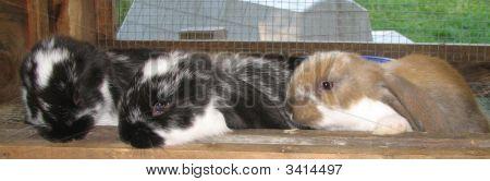 Three Old English Lop Bunnies