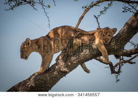 Lion Cub Climbing Past Another In Tree