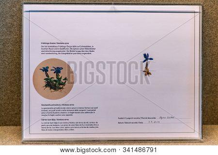 St. Magdalena, South Tyrol, Italy -  October 23, 2019: Display Of Blue Gentian (gentiana Verna) At T