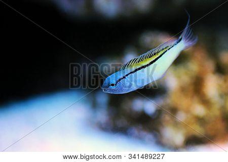 Red Sea Mimic Blenny Fish - (ecsenius Gravieri)