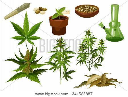 Set Of Isolated Marijuana Leaf And Hemp Seeds, Cannabis Buds Or Medicine Weed Foliage. Sativa And In