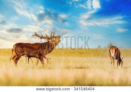 Red Deer Group With Belling Deer Stag In Autumn. Autumn Landscape With Herd Of Deer. Cervus Elaphus.