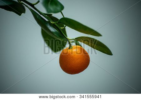 Ripe Juicy Sweet Orange Mandarins On A Tree In The Mandarin Orchard. Selective Focus. Mandarin Orang