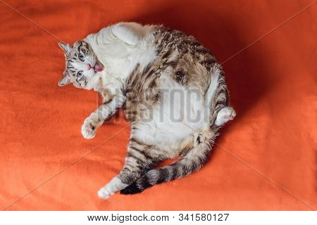 Very Fat Cat Is Obese, Lies On An Orange Blanket
