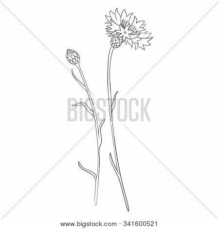 Vector Cornflower Flower And Bud, Centaurea Cyanus , Hand Drawn Illustration
