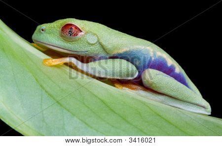 A baby red-eyed tree frog is sleeping on a leaf. poster