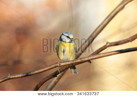 Blue tit bird tree branch twig. Nature background fall sunrise morning Nature background color birdie sunset Nature background birds vibrant habitat Nature background titmouse Nature background autumn forest Nature background passerine Nature background.