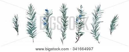Rosemary Herb Set, Watercolor Painting Botanical Illustration. Hand Drawn Spice Plant Isolated On Wh