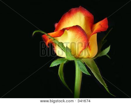 Fire-tipped Rose