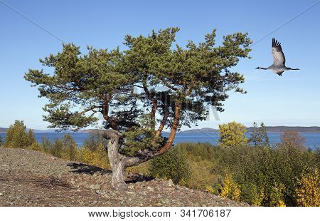 Small Pine This Side The Sea. Trees And Hills In The Background. Sunshine. Crane In Flight, Migratio