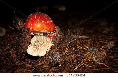 Close Up On Toxic And Hallucinogen Mushroom Fly Agaric In Their Natural Habitats.
