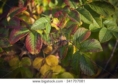 Close Up, Macron On Colorful Autumn Leaves. Rose Hip Leaf In Brown, Red, Orange And Yellow. Some Fro