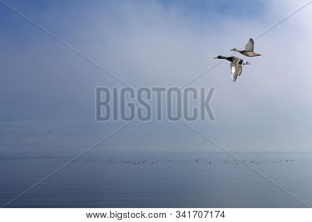 A Couple Of Ducks, Mallards Above The Sea. Foggy Sea In The Background, Groups Of Birds.