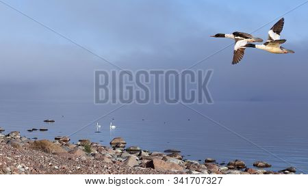 A Couple Of Goosanders Above The Sea. Foggy Sea In The Background, Groups Of Birds. Shore.