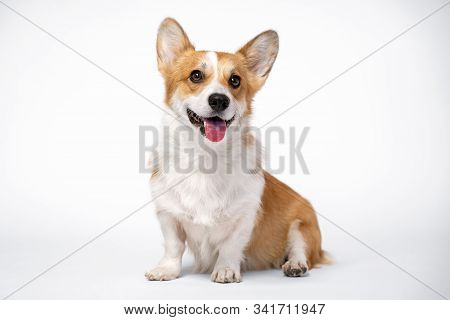 Obedient Dog (puppy) Breed Welsh Corgi Pembroke Sitting And Smiles On A White Background. Not Isolat
