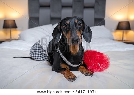 Funny Black And Tan Dachshund Wearing Maid Costume Lay With Feather Duster On White Bed Or Sofa In A