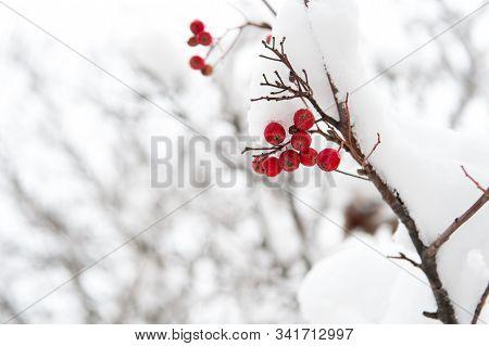 Useful For Your Health. Rowanberry Twig In Snow. Winter Berry. Berries Of Red Ash. Winter Background