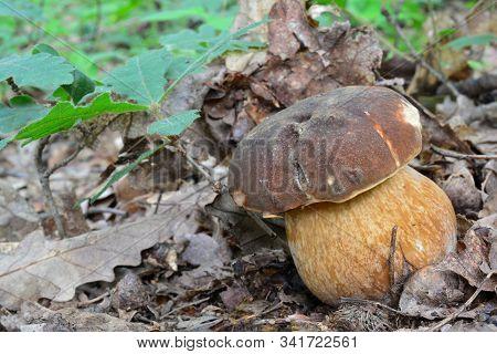One Single Pecimen Of Boletus Aereus Or Dark Cep, Or Bronze Bolete Mushroom In Natural Habitat, Besi