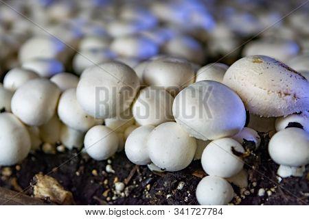 White Champignon Mushrooms Growing In Dark Grotten On Champignons Farm