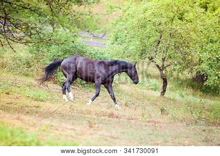 Black Horse Run Down A Pasture. Horses Free In Nature