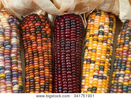 Different Colors Of Vibrant Ears Of Indian Corn With Husks Pulled Back. A Symbol Of Harvest Season,