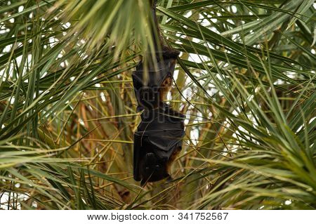 Indian Flying Fox Or Greater Indian Fruit Bat Hanging From Tree With Eyes Open At Keoladeo National