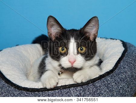 Black And White Kitten With Golden Yellow Eyes Laying In Dark Blue Bed With Sheepskin Inside Peaking