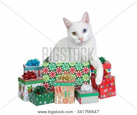 White Cat With Heterochromia, Odd Eyes, Popping Out Of A Colorful Christmas Present Surrounded By Sm