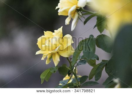 Isolated Yellow Garden Rose Close Up At The End Of Spring