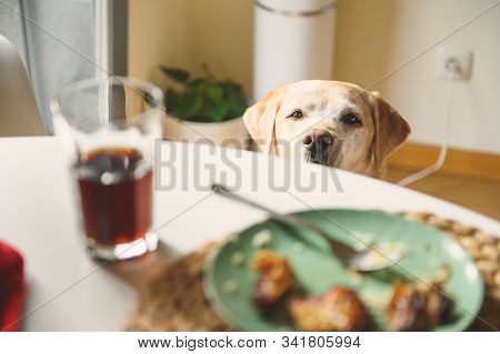 Dog On A Diet. Labrador Retriever Looks At The Food On The Table. Dog Want Food.