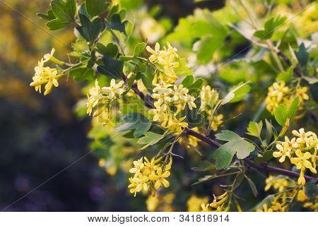 Golden Buffalo Currant Ribes Aureum
