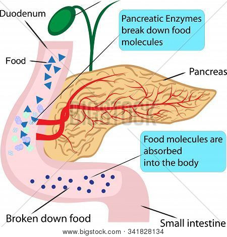 Pancreatic Role And Functionin Digestion Process In A Human Body  Vector Illustration Infographics