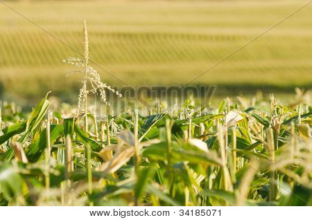Endless View Of The Corn Field