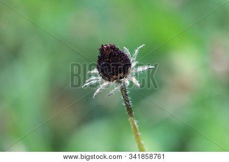 Black Eyed Susan Or Rudbeckia Hirta Or Brown Eyed Susan Or Brown Betty Or Gloriosa Daisy Or Golden J