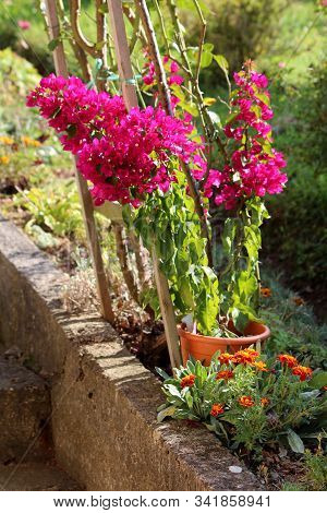 Bougainvillea Thorny Ornamental Hardy Vine Plant With Dense Colourful Pink Sepal Like Bracts Which G