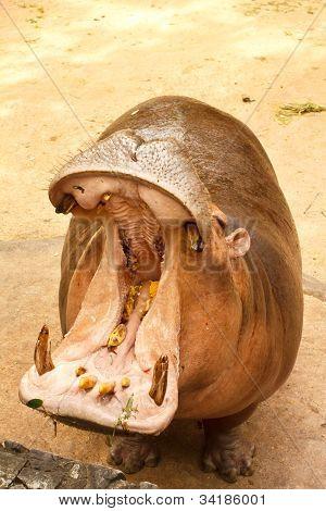 Hippo In Closeup