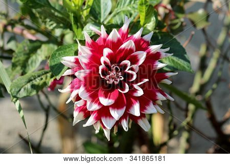 Dahlia Bushy Tuberous Herbaceous Perennial Plant With Large Composite Flower Head With Dark Red And