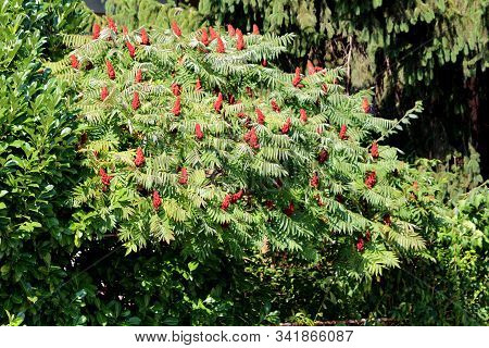Dense Treetop Of Staghorn Sumac Or Rhus Typhina Dioecious Deciduous Tree With Dark Red Cone Shaped F