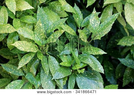Densely Planted Japanese Laurel Or Aucuba Japonica Or Spotted Laurel Or Gold Dust Plant Or Japanese