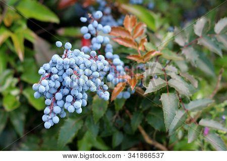 Densely Planted Oregon Grape Or Mahonia Aquifolium Evergreen Shrub Flowering Plant With Dense Cluste