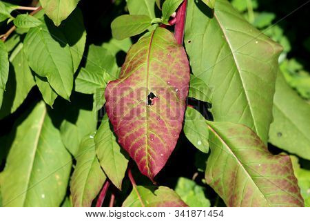 Large Dark Red And Green Leaves Background Texture Of Pokeweed Or Phytolacca Americana Or American P