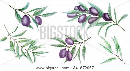 Watercolor Black Olive Tree Branch Leaves Fruits Set, Realistic Olives Botanical Illustration Isolat