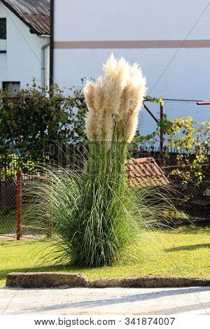 Narrow Leaning Pampas Grass Or Cortaderia Selloana Perennial Flowering Plant Growing Like Large Bush