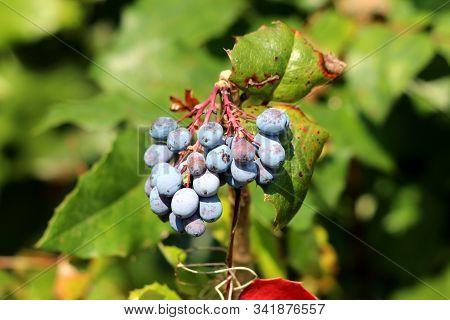 Oregon Grape Or Mahonia Aquifolium Evergreen Shrub Flowering Plant With Small Cluster Of Dusty Blue