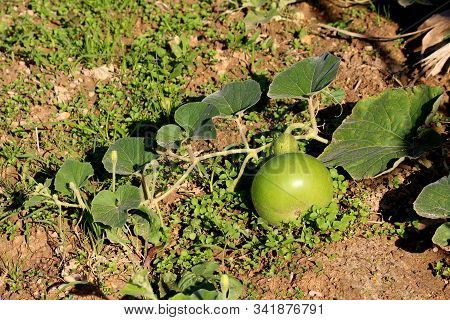 Ornamental Gourd Plant Vine With Large Dark Green Leaves And Flower Buds Surrounding Small Light Gre