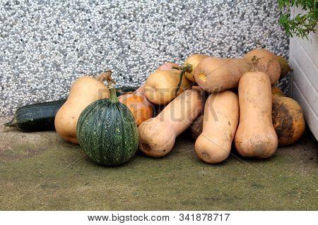 Pile Of Freshly Picked Butternut Squash Or Cucurbita Moschata Or Butternut Pumpkin Or Gramma Winter