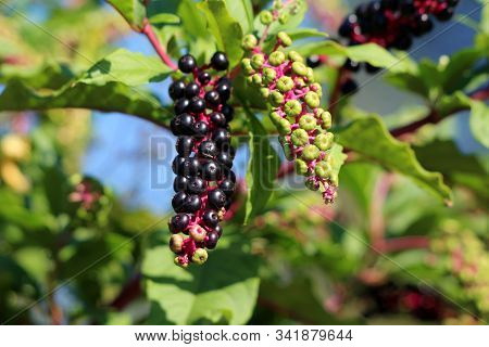 Pokeweed Or Phytolacca Americana Or American Pokeweed Or Poke Salad Poisonous Herbaceous Perennial P