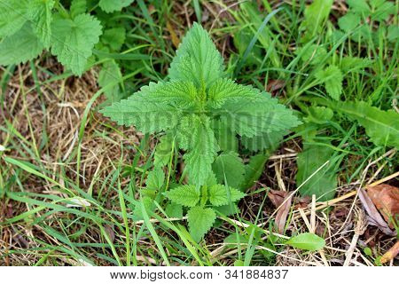 Small Common Nettle Or Urtica Dioica Or Stinging Nettle Or Nettle Leaf Or Nettle Or Stinger Herbaceo