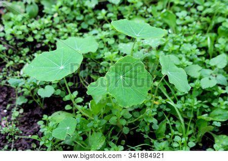 Small Garden Nasturtium Or Tropaeolum Majus Or Indian Cress Or Monks Cress Flowering Annual Plant Wi